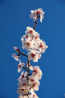 Mandorle in fiore contro il cielo.