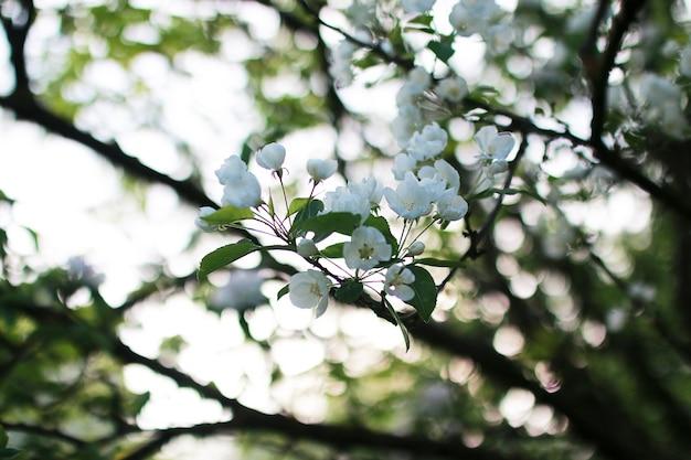 Melo in fiore con fiori bianchi luminosi all'inizio della primavera