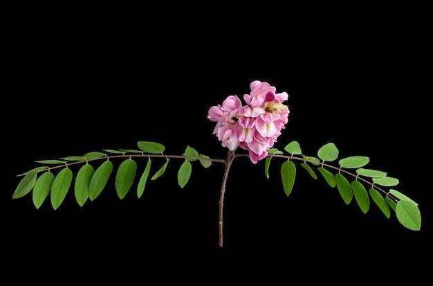 Ramo fiorito robinia neomexicana con infiorescenza rosa