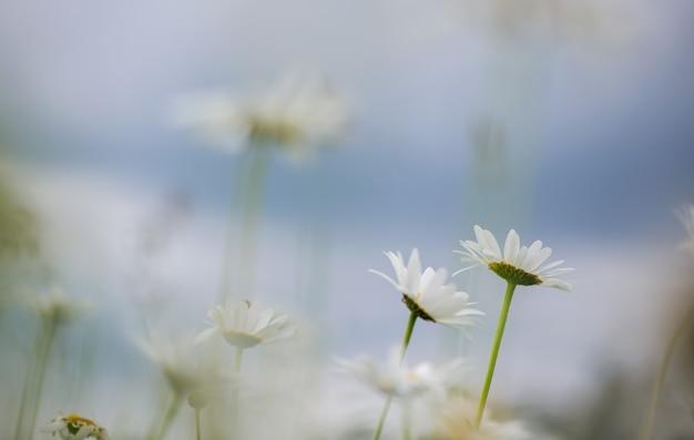 Fioritura. camomilla. campo di camomilla in fiore, fiori di camomilla su un prato in estate, fuoco selettivo