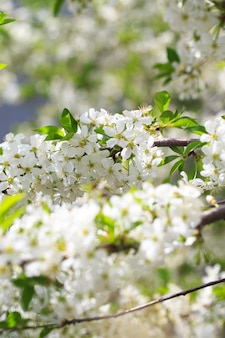 Ciliegio in fiore su uno sfondo di cielo blu.