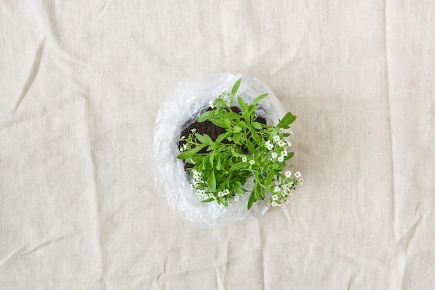 Pianta da giardino fiorita con teneri piccoli fiori bianchi in un sacchetto di plastica su uno sfondo di tessuto. concetto di ecologia e ambiente. vista dall'alto.