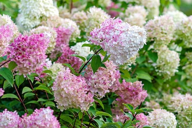 Fioritura hydrangea paniculata vanille fraise con fiori rosa e bianchi