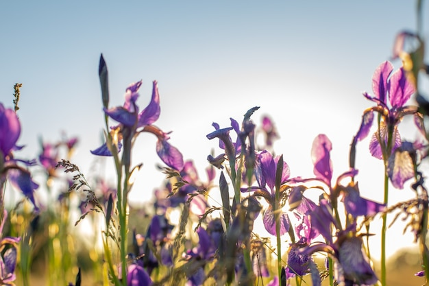 Iris in fiore in un campo al tramonto. all'aria aperta.