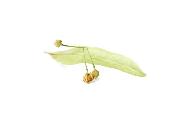 Tiglio di fioritura con le foglie isolate su bianco