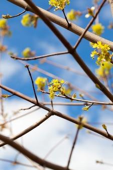 Acero in fiore, primo piano fotografato da vicino di fiori di acero, verde, periodi primaverili durante l'anno, cielo blu