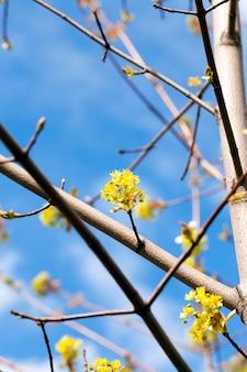 Acero in fiore, primo piano di fiori di acero, verde, periodi primaverili durante l'anno, cielo blu