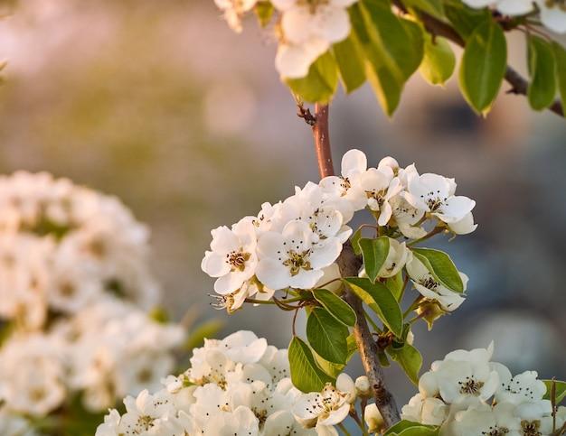 Pera fiorita nel parco.