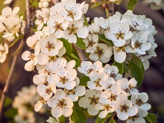 Pera fiorita nel parco