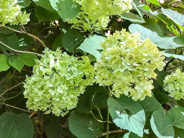 Arbusto di fioritura dell'ortensia bianca dell'albero di paniculata, paniculata dell'ortensia, nel giardino di estate