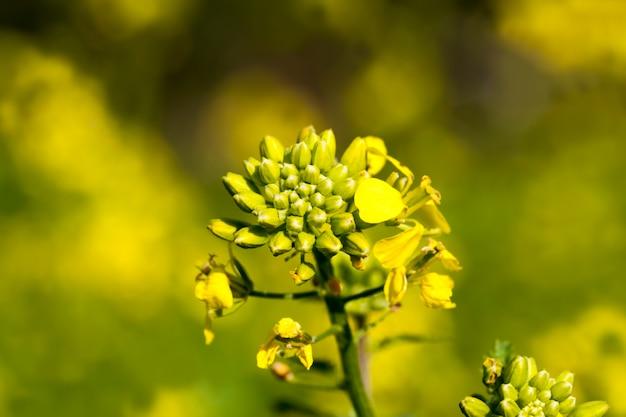 I fiori sono coltivati per l'abbellimento