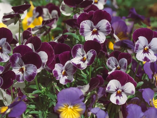 I fiori sono viola in giardino. sfondo estivo. primavera. fiori primaverili in fiore