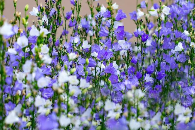 I fiori sono campane bianche e viola da vicino su uno sfondo leggermente sfocato di foglie verdi ed erba.