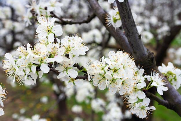 Fiori sul ramo dell'albero da frutto prugna