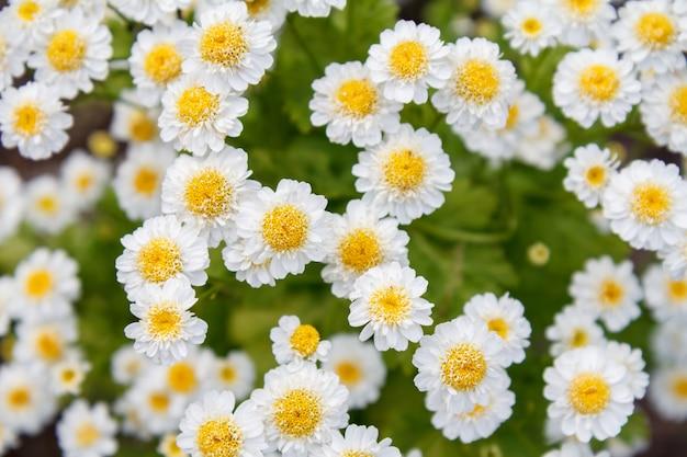 Fiori di camomilla in giardino con gli stessi fiori sfocati sullo sfondo.