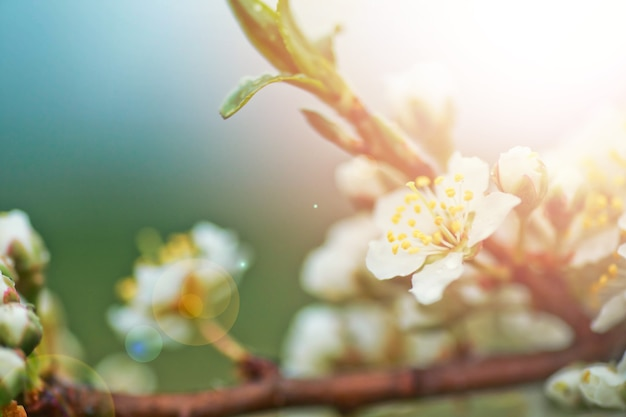 Fiori di cherry plum o myrobalan prunus cerasifera che fioriscono in primavera sui rami.