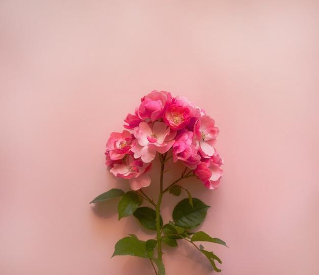 Composizione di fiori. ramo di rosa rosa su sfondo rosa tenue. primavera, concetto estivo. lay piatto, vista dall'alto, copia spazio.