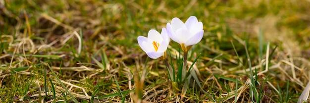 Fiorisce i crochi in piena fioritura, di colore bianco lilla, crescono sull'erba appassita. i primi fiori primaverili in natura all'aperto. banner