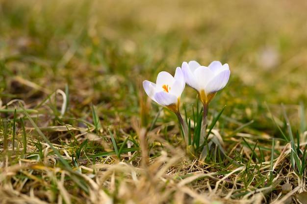 Fiorisce i crochi in piena fioritura, di colore bianco lilla, crescono sull'erba appassita.