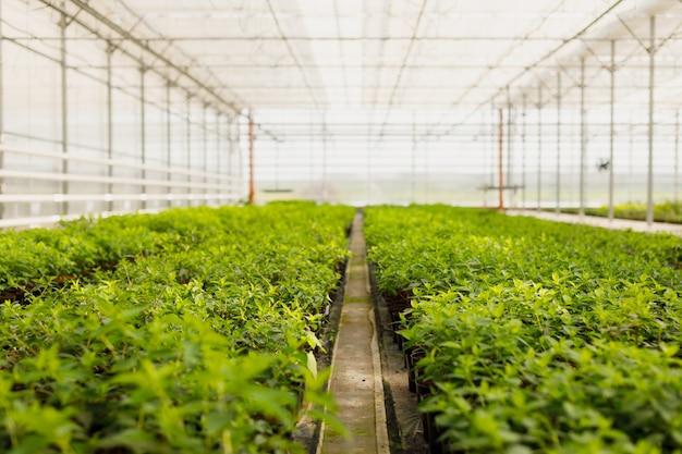Coltivazione di fiori in serra. fiori di produzione. piante coltivate in serra.
