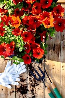 Fiori e attrezzi da giardinaggio su fondo in legno. petunia in un cestino e attrezzature da giardino. il giardino primaverile funziona il concetto.