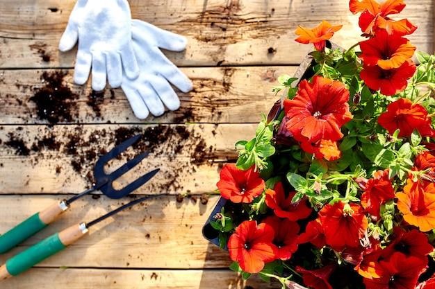 Fiori e attrezzi da giardinaggio su fondo in legno. petunia in un cestino e attrezzature da giardino