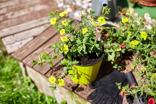 Fiori e attrezzi da giardinaggio su superficie in legno. petunia in un cesto e attrezzature da giardino. il giardino di primavera funziona concetto.
