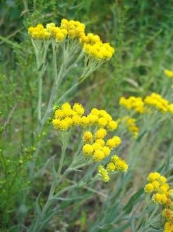 Fiori del primo piano dell'arenarium di helichrysum