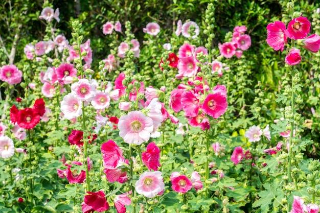 Fiori holly hock (hollyhock) bianco e rosa in giardino