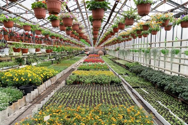 Fiori all'interno della serra da giardino in primavera in serra con file di piantine di piante diverse fioriscono