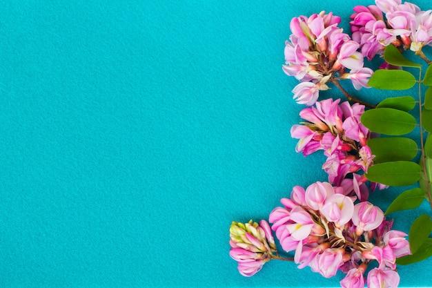 Fiori di acacia rosa su sfondo blu. vista dall'alto