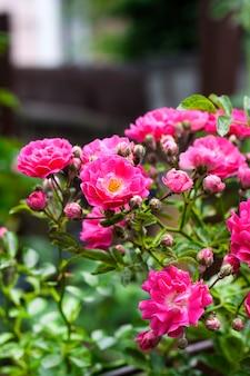 Fiori del primo piano rosa delle rose rampicanti nella soleggiata giornata estiva
