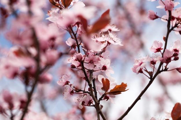 Fiori di ciliegia rossa