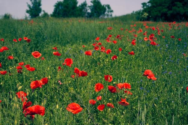 Fiori i papaveri rossi sbocciano sul campo selvaggio. papaveri rossi del bellissimo campo di campagna con sfocatura del fuoco selettivo. pomeriggio morbida luce del sole, tramonto. panorama del paesaggio.