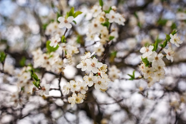 Fiori sull'albero. sfondo luminoso di primavera.