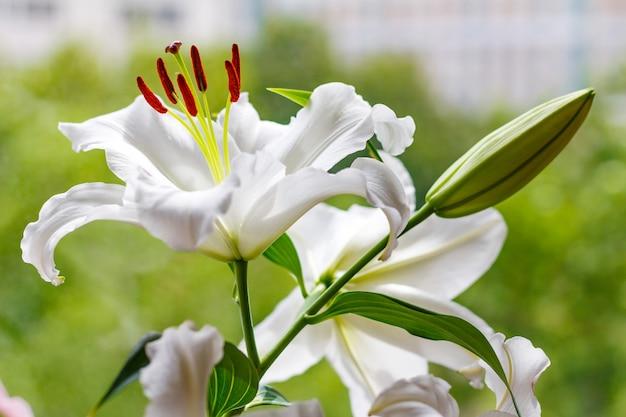 Fiori di un primo piano bianco del giglio del giardino