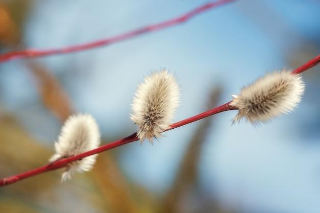 Soffici rami di salice fiorito sbocciavano in primavera