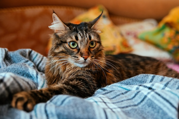 Il soffice gatto distoglie lo sguardo e si sdraia su una morbida coperta. grandi occhi verdi e lunghi baffi. un animale domestico.