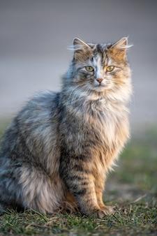 Il gatto lanuginoso con pelo lungo si siede nell'erba la sera
