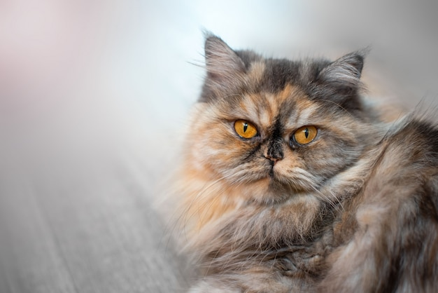 Gatto persiano colorato lanuginoso su fondo in legno gatto domestico dai capelli lunghi bella casa