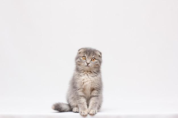 Gattino bello grigio lanuginoso, razza scottish-fold, ritratto ravvicinato su sfondo grigio, concentrarsi sul viso, aspetto deplorevole