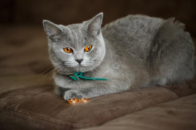 Il soffice gatto grigio si siede vicino alle fedi nuziali dorate