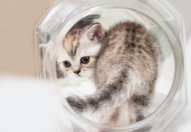 Gattino grigio lanuginoso in un barattolo rotondo.