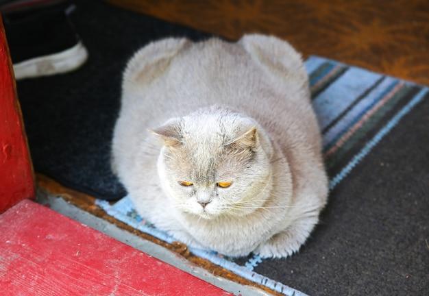 Gatto grigio lanuginoso sulla soglia. simpatico animale domestico.