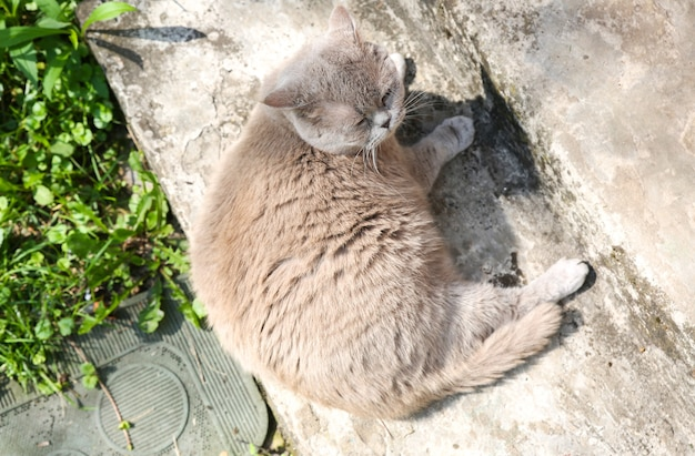 Gatto grigio lanuginoso all'aperto. simpatico animale domestico che si gode il sole estivo.