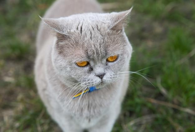 Gatto grigio lanuginoso all'aperto. simpatico animale domestico.
