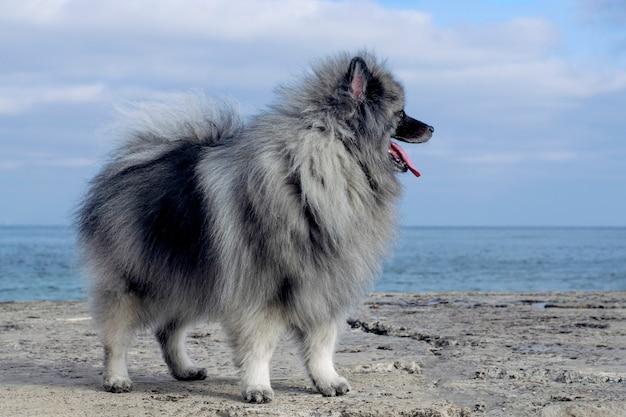 Un soffice cane keeshond si erge su un molo sul mare.