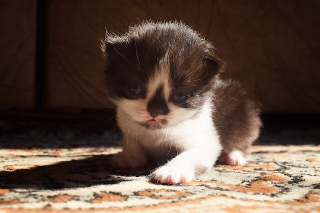 Gattino birichino con un naso nero carino