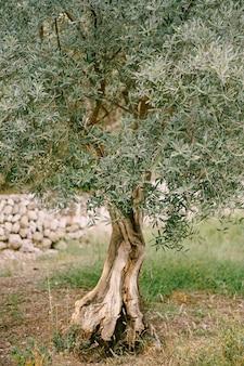 Soffice olivo nelle foglie verdi della foresta sui rami degli alberi