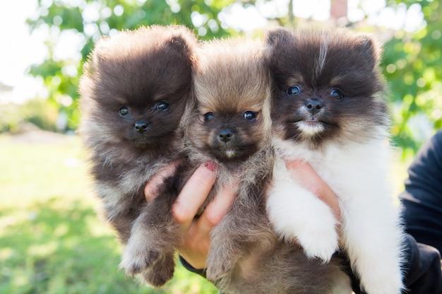 I cani lanuginosi dei cuccioli di pomerania si siedono sulle mani del proprietario